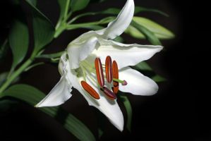 White Passion 3 by gors