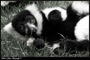 Black and White Ruffled Lemur by gingersnap16