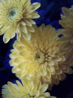 yellow flowers. by angiak666