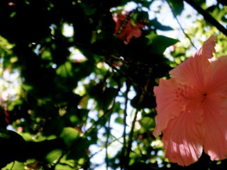 Hibiscus by notrex