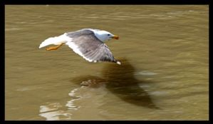Low altitude Gull by nick-metroid