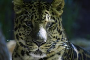 Set: Amur Leopard P2 by Matt-D-C