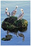 Three Wise Pelicans by kamuidestiny