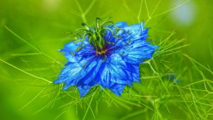 Nigella Damascena by pingallery