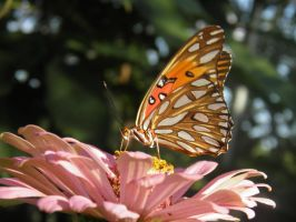 Gulf Fritillary Butterfly by Destroyah93