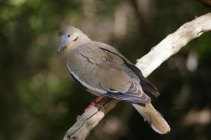 Peaceful White-winged Dove by PatGoltz