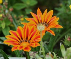 orange beauties 2 by ingeline-art