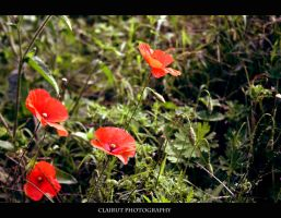Poppies by ClairutPhotography