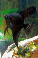 Angel Fish stock 01 by DigitalissSTOCK