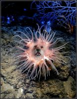 Anemone- Dog. by fisher57