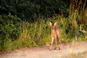 Lonely Fawn by brijome