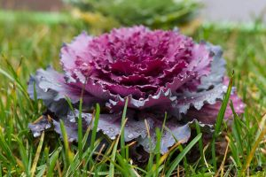 Beautyful cabbage by Jasumy
