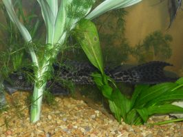 Floating pleco? by DarkRedTigr