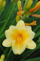 Day lilly by LucieG-Stock