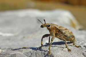 Weevil bug by RichardConstantinoff