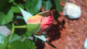 Rose Bud by rabbithat8