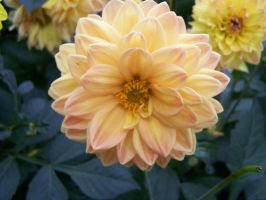 Stock Flower Orange by Sheiabah-Stock