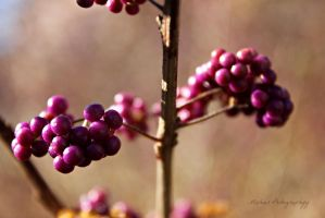 Purple Berries by Michies-Photographyy