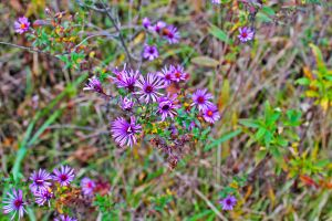 Half Dead Purple Daisies by MoonShadowPhoto