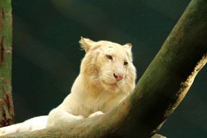 Stock White Tiger Being Reflective by Celem