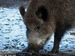 Wild Boar is looking for food in the snow by AngelOfDarkness089