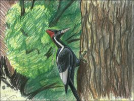 Ivory-Billed Woodpecker by WhiskerfaceRumpel