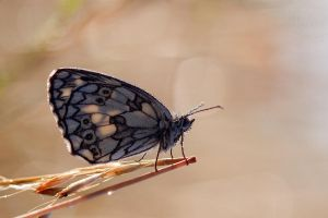 Marbled White by SzymonMic