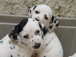 couple of puppies by millegas