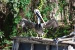 Brown Pelican: Look at Me by ManitouWolf