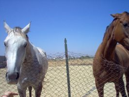 Couples horses stock by SemmyStock