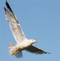 seaguLL III by pLateauce