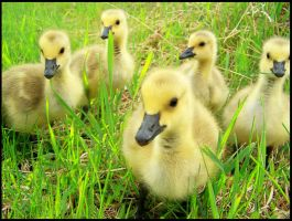 Five Goslings by ripleysweet