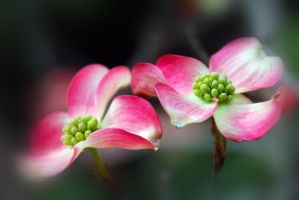 Dogwood 1 by Vividlight