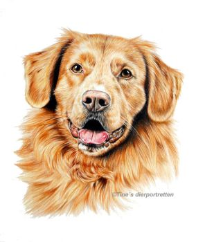 Tolling retriever Chip, colored pencil by Tinesdierportretten