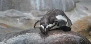 Penguin, chilling by Dinjai