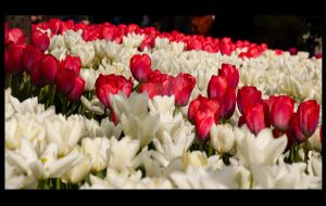 Tulips of Istanbul - 3 by SoundOfSilence87