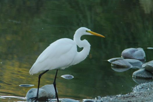 Great Egret by PatGoltz