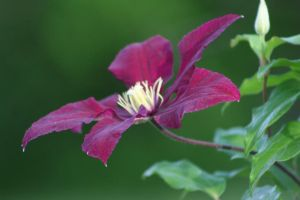 Pink.Clematis.2. by Dellessanna