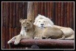 Resting Lions by Arwen91