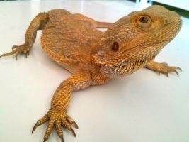 Australian bearded dragon by Trancos8