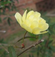 yellow rosaceae 02 by CotyStock