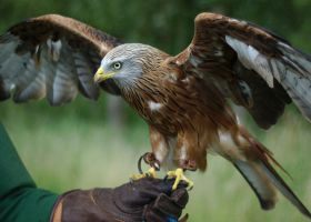 Red Kite, Wings Spread 1 by FurLined