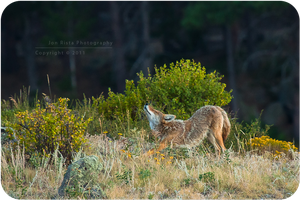 .: Wake up, Coyote :. by jon-rista