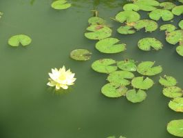 Lotus and Lillypads by viperxmns