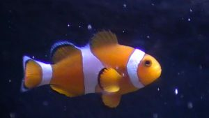 Mordecai my clown fish by rabbithat8
