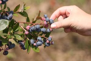 Picking Blueberries by froggynaan