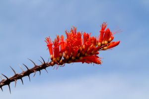 Ocotillo by olearysfunphotos