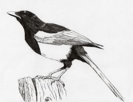 Magpie - Pica pica by Muntchka