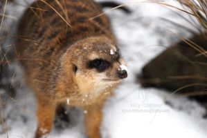 Meercat in the Snow!? by Shadow-and-Flame-86