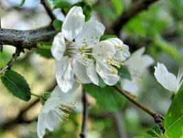 Cherry blossoms ( 2 ) by UdoChristmann
